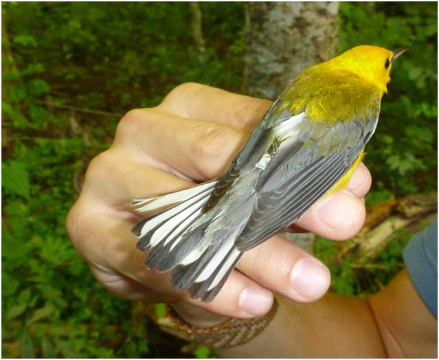 Prothonotary Warbler fledgling young from a nest box
